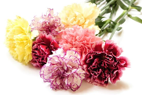 ความหมายของ Carnation