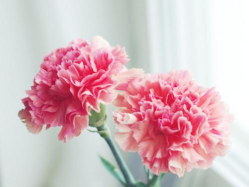 ดอกคาร์เนชั่น Carnation