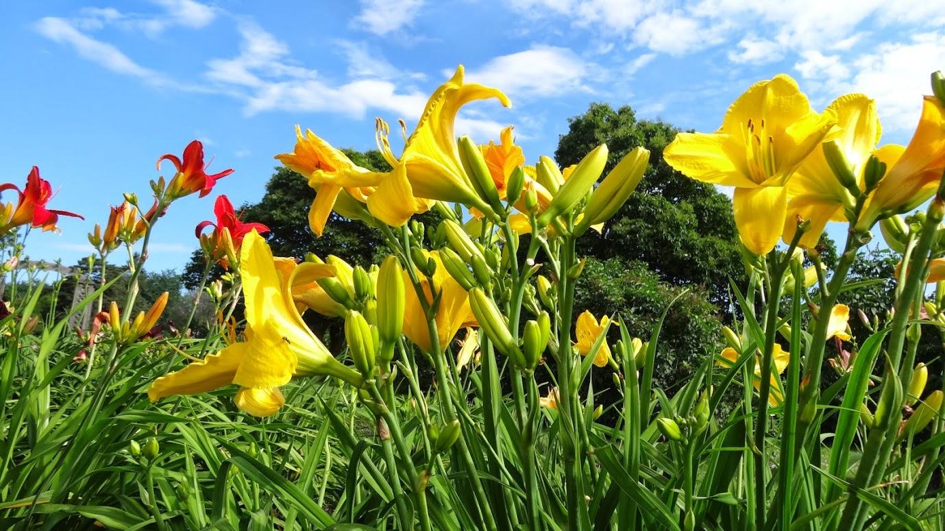 Daylily (ดอกไม้จีน)