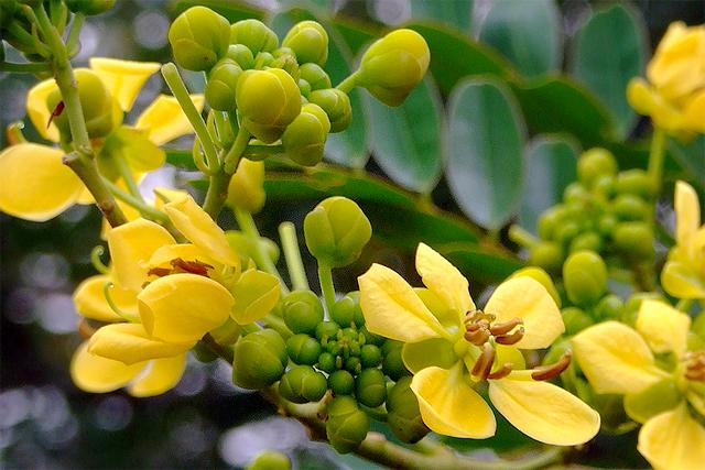 ดอกไม้สมุนไพร ใช้รักษาโรคได้