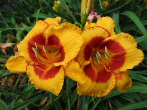 Fooled Me Daylily 02
