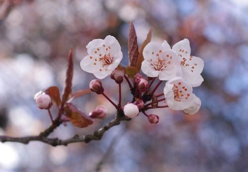 ดอกซากุระ (Cherry Blossom)
