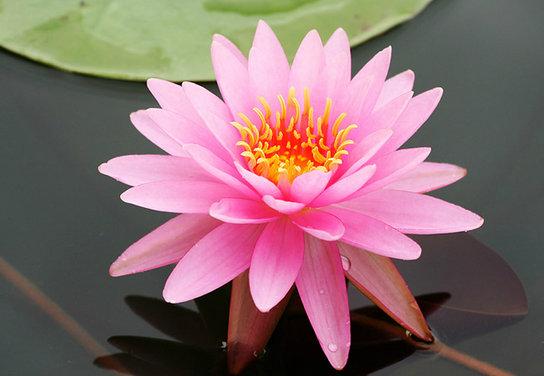 ดอกบัว ความเชื่อของดอกไม้