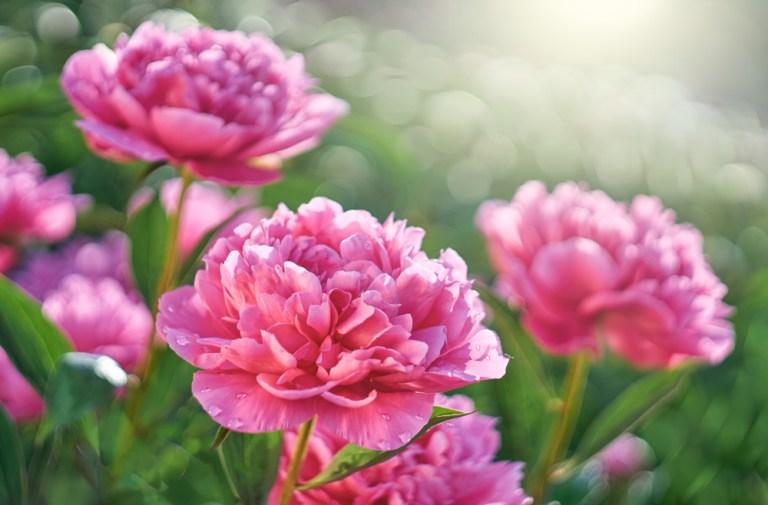 ดอกไม้ที่นิยมนำไปประกอบพิธีแต่งงาน