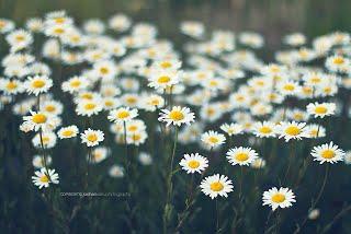 ดอกเดซี่ Daisy