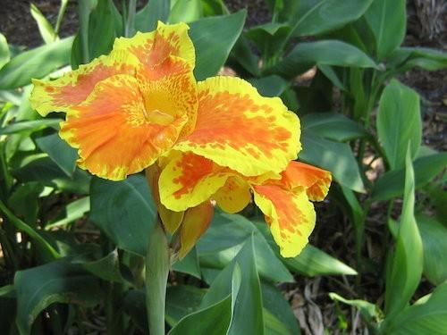 ดอกพุทธรักษา (Canna indica)
