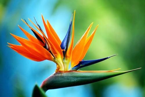 ดอกปักษาสวรรค์ (Bird of paradise)