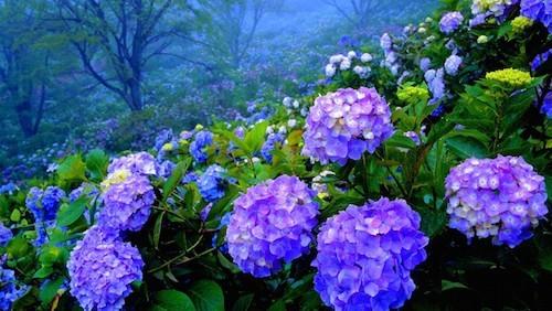 ดอกไฮเดรนเยีย (Hydrangea)