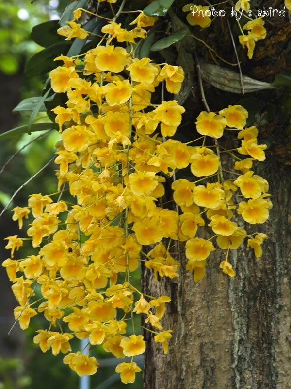เอื้องผึ้ง ดอกไม้ไทย