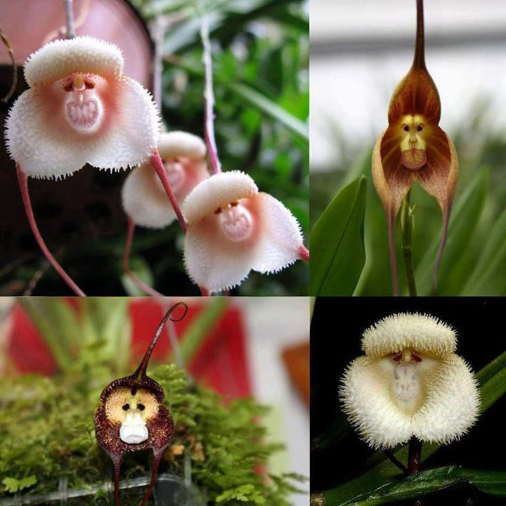 กล้วยไม้หน้าลิง Monkey Orchid