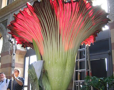 TITAN ARUM ดอกไม้ที่ใหญ่ที่สุดในโลก!!!