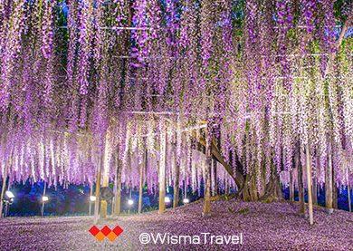Wisteria หนึ่งในเจ็ดต้นไม้มหัศจรรย์ของโลก