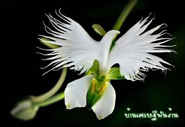 ดอกนกกระสา