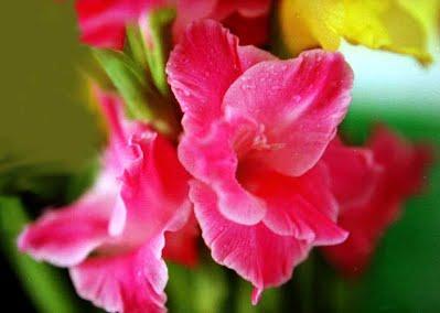 ดอกแกลดิโอลัส