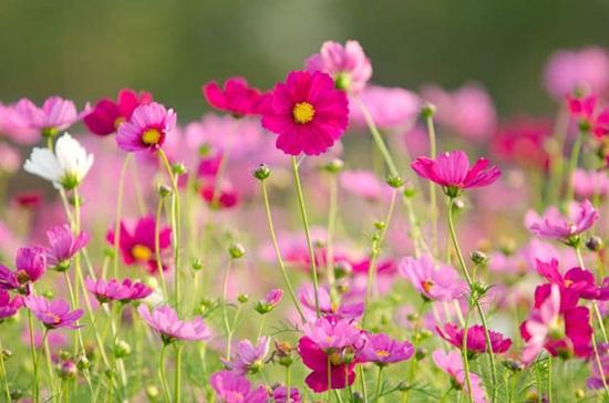 ดอกดาวกระจาย