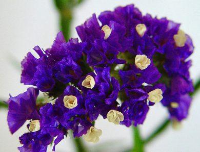 ดอกสแตติส