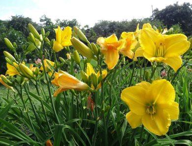 ดอกเดย์ลิลลี่ ดอกไม้ในวันวาน