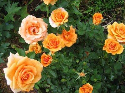 ทำความรู้จักดอกกุหลาบหนู